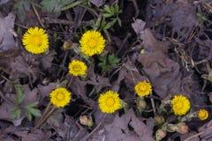 Blommor i för tussilagotussilago för tidig vår blommande närbild för farfara med den selektiva fokusen för bokehbakgrund, grund D Fotografering för Bildbyråer