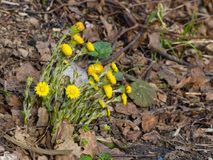 Blommor i för tussilagotussilago för tidig vår blommande närbild för farfara med den selektiva fokusen för bokehbakgrund, grund D Royaltyfria Bilder