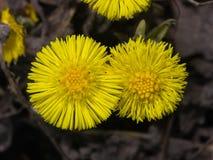 Blommor i för tussilagotussilago för tidig vår den blommande farfaraen, närbild, selektiv fokus, grund DOF Arkivbild