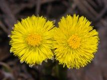 Blommor i för tussilagotussilago för tidig vår den blommande farfaraen, närbild, selektiv fokus, grund DOF Royaltyfria Foton