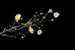 Blommor i förgrunden på en svart bakgrund Arkivbild