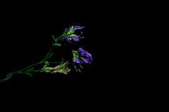 Blommor i förgrunden på en svart bakgrund Royaltyfri Bild