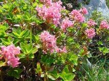 Blommor i fjällängarna, Österrike Royaltyfria Foton