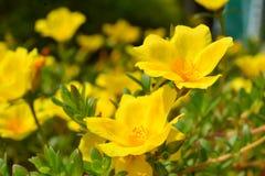 blommor i guling Fotografering för Bildbyråer
