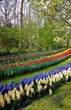 Blommor i Keukenhof Arkivfoto