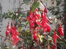 Blommor i landsträdgården @ Crookham, Northumberland, England Royaltyfri Bild