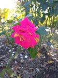 Blommor i nedgången Royaltyfria Foton