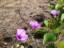 Blommor i pinjeskogen, Songkhla, Thailand Royaltyfria Bilder