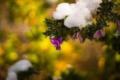 Blommor i sällsynt och unik händelse för snö - insnöad Aten - Arkivfoton