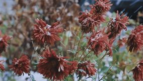 Blommor i snön 2 stock video