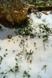 Blommor i snön på lutningarna av Qurnat som Sawda i Libanon royaltyfria bilder