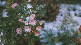 Blommor i snowen stock video