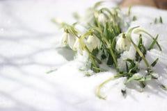 Blommor i snowen Arkivbild