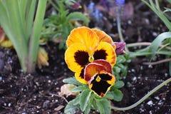 Blommor I som ses i Granbury Texas March 17 Fotografering för Bildbyråer