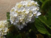 Blommor i Sri Lanka Royaltyfri Foto