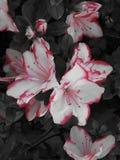 Blommor i svartvit bakgrund royaltyfria bilder