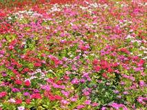 Blommor i trädgård kan vara till bakgrund Royaltyfri Foto