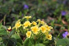 Blommor i trädgården primrose royaltyfri fotografi