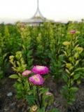 Blommor i trädgården Suan Luang Rama IX i Thailand fotografering för bildbyråer