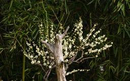 Blommor i vårserier: vita bloss för plommon (Bai-mei i kines) Arkivfoto