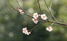 Blommor i vårserier: vita bloss för plommon (Bai-mei i kines) Royaltyfria Bilder