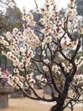 Blommor i vårserier: vita bloss för plommon (Bai-mei i kines) Arkivbilder