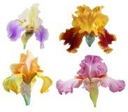 blommor iris seten Arkivfoto