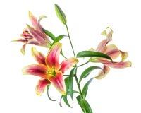 blommor isolerade liljan Royaltyfri Foto