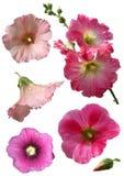 blommor isolerade mallowen Arkivbilder