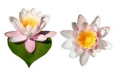 blommor isolerade näckros Arkivbild
