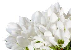 blommor isolerade nosegaysnowdropwhite Fotografering för Bildbyråer