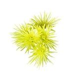 blommor isolerade vit yellow royaltyfri bild