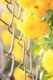 Blommor (kamomill) Royaltyfria Bilder