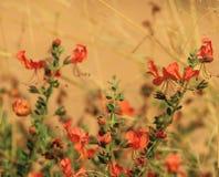Blommor kattjordluckrare - röda Afrika Fotografering för Bildbyråer