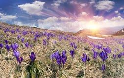Blommor - krokusar Arkivfoton