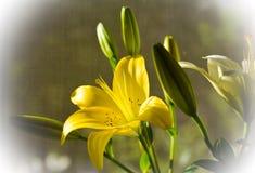 blommor lilja Fotografering för Bildbyråer