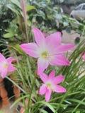 blommor lilly Royaltyfria Bilder