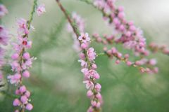 blommor little pink Arkivfoton