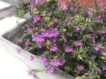 blommor little som är purpur Fotografering för Bildbyråer
