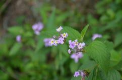 blommor little som är purpur Royaltyfri Bild