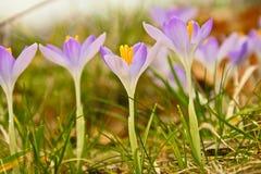 blommor little som är purpur Royaltyfria Bilder