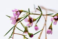 blommor little som är purpur Arkivbilder