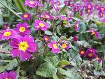 blommor little som är purpur Royaltyfri Fotografi