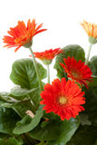 blommor little som är röd Royaltyfria Bilder
