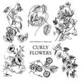 Blommor Loachesna Klassisk vykort i tappningstil Botanisk illustration Royaltyfri Bild