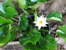 Blommor - lotusblomma royaltyfri fotografi