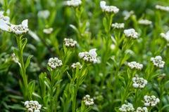 Blommor med vita blommor och gräsplansidor Arkivbild
