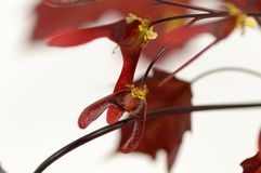 Blommor och frö av röd lönn Arkivbild