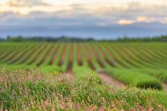Blommor och grönt lavendelfält Arkivbild