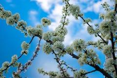 Blommor och himmel för ` s för Apple träd royaltyfri bild